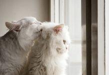 Hairball: boli di pelo nello stomaco del gatto