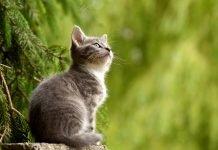 Che cos'è la FIV: immunodeficienza nel gatto