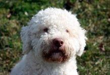 Consigli per scegliere il cucciolo giusto di Lagotto Romagnolo