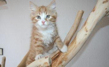 Come maneggiare il gattino senza fargli male