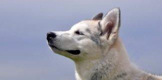 Perché i cani sono utilizzati per la ricerca di cose e persone?