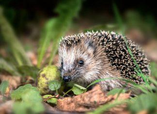 Il riccio: un animale simpatico e curioso