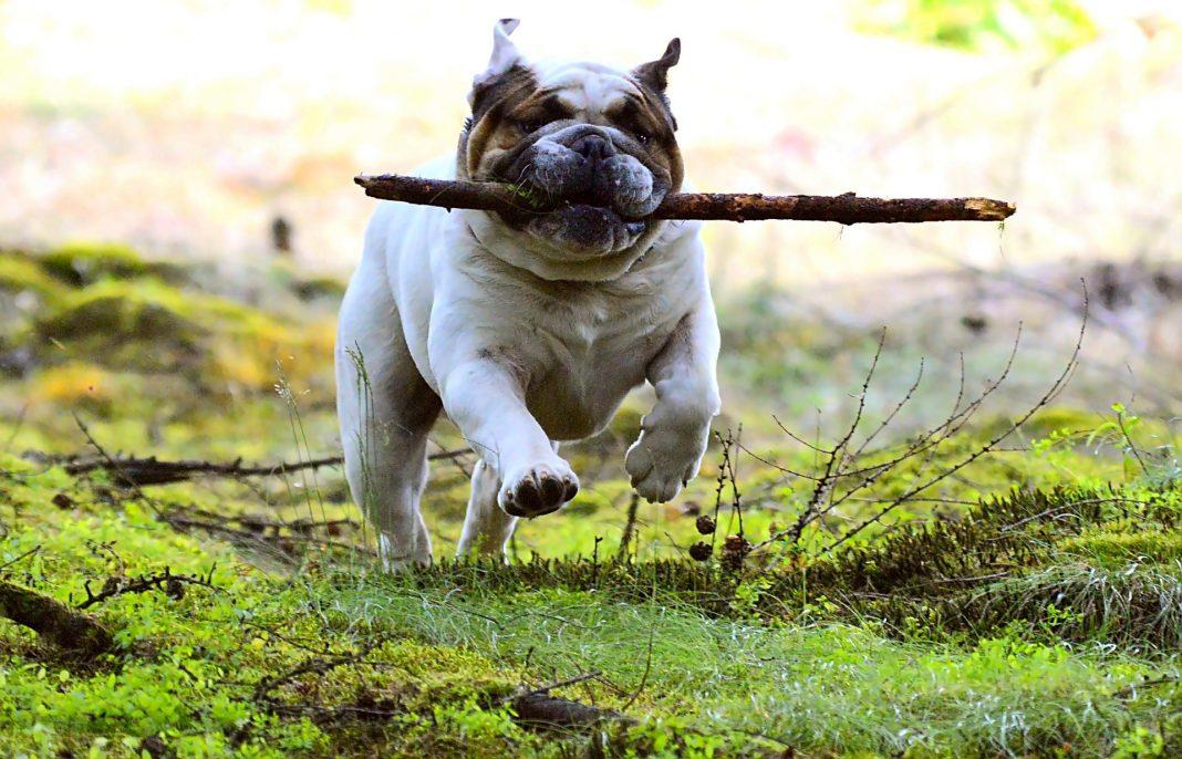 Un cane grasso non è né bello, né sano