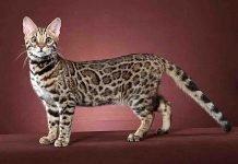 Gatto Bengalese (Bengal): carattere e prezzo