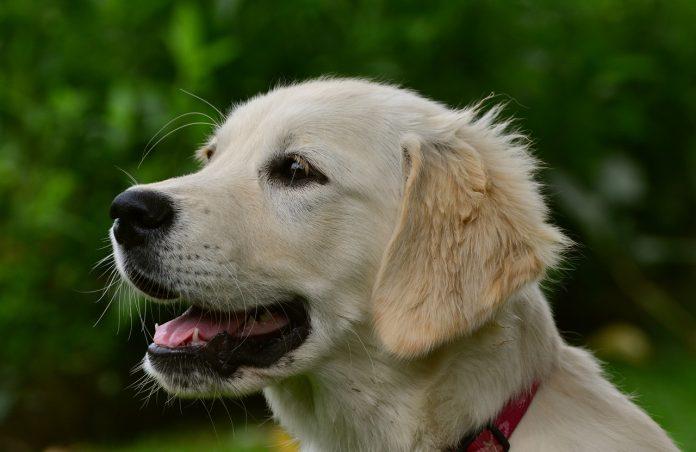 Ipotiroidismo nei cani: come curalo o prevenirlo