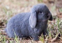 Il coniglio nano: le razze più cercate