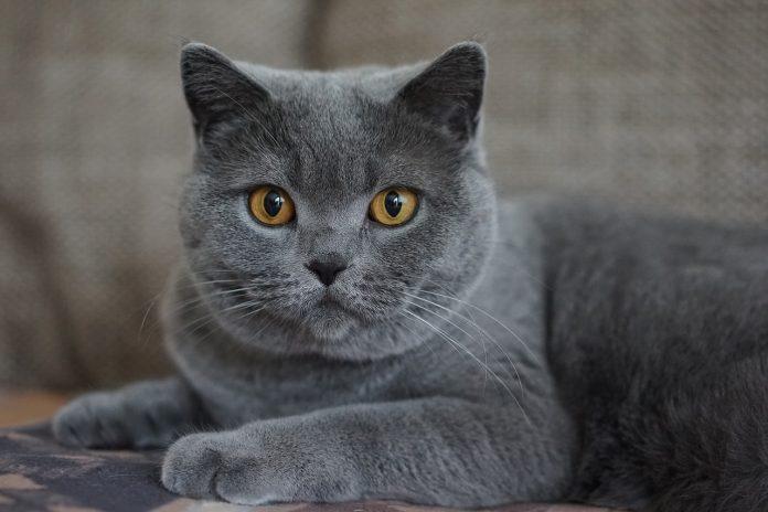 Certosino, il micio grigio che vi aspetta per rallegrare le vostre giornate