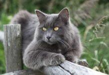 Gatto Nebelung, la creatura della nebbia